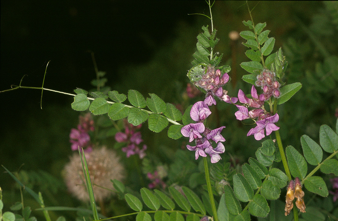 Image of bush vetch