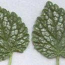 Image of <i>Lamium galeobdolon</i> montanum variegatum