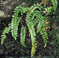 Image of Green spleenwort