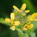 Image of hedgemustard