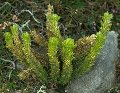 Image of Fir Club Moss