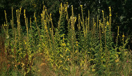 Image of Great Mullein