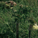 Image of <i>Heracleum <i>sphondylium</i></i> ssp. sphondylium