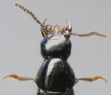 Image of Staph beetle