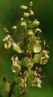 Image of woodland germander