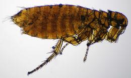 Image of <i>Orchopeas <i>howardi</i></i> howardi (Baker 1895)