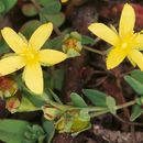Image of trailing St John's-wort