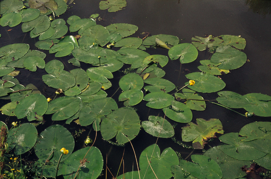Image of Yellow Water-lily
