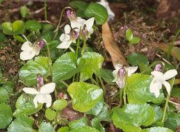 Image of <i>Viola odorata</i> var. <i>imberbis</i>