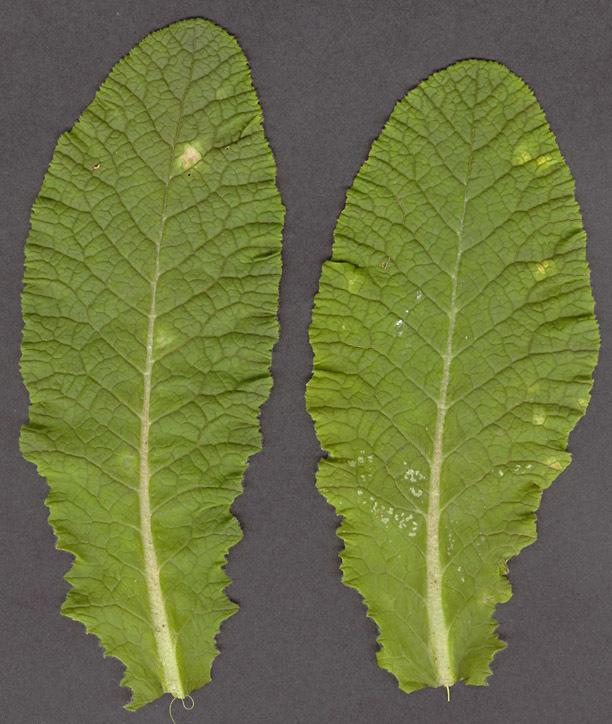 Image of <i>Ramularia interstitialis</i> (Berk. & Broome) Gunnerb. & Constant. 1991