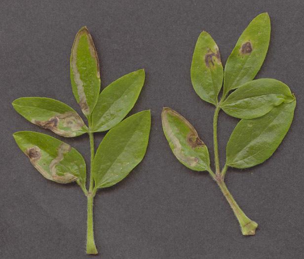 Image of <i>Phytomyza vitalbae</i> Kaltenbach 1872