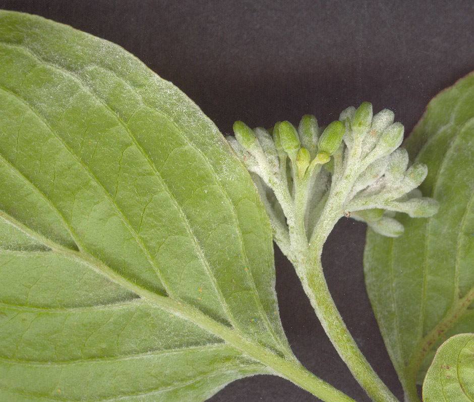 Image of <i>Erysiphe tortilis</i> (Wallr.) Link 1824