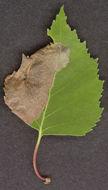 Image of Eriocrania