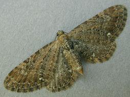 Image of <i>Eupithecia tripunctaria</i> Herrich-Schäffer 1857