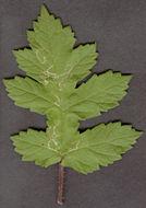 Image of <i>Phytomyza pastinacae</i> Hendel 1923