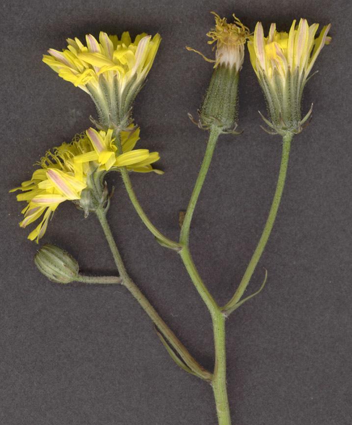 Image of beaked hawksbeard