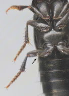 Image of <i>Symplectromyces vulgaris</i> (Thaxt.) Thaxt. 1908