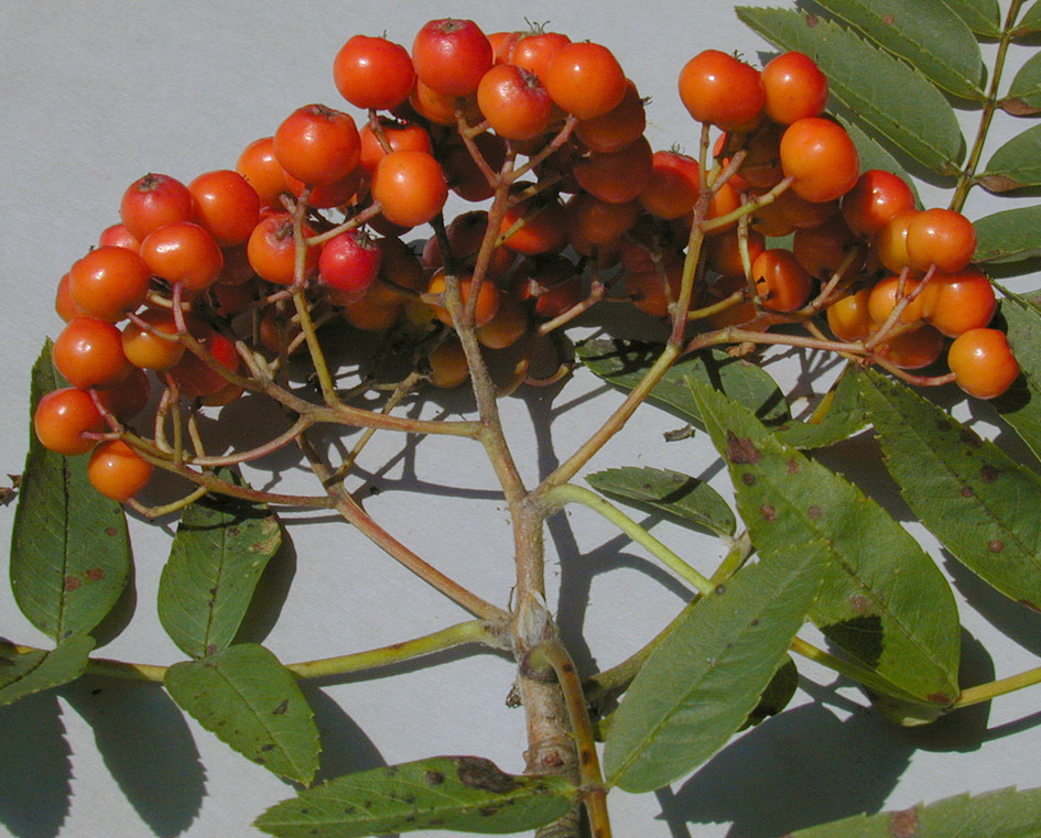Image of European Rowan