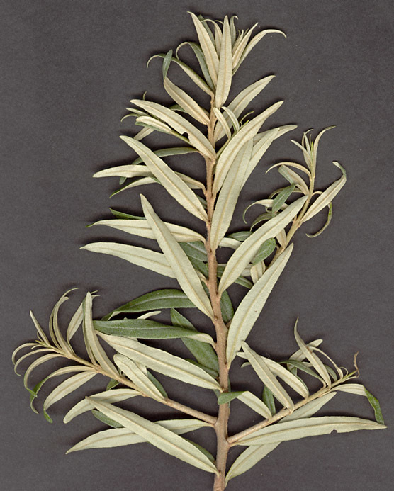 Image of Hippophaë rhamnoides