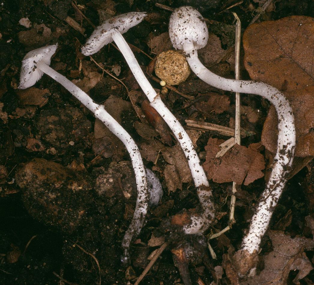 Image of <i>Leucoagaricus sericifer</i> (Locq.) Vellinga 2000