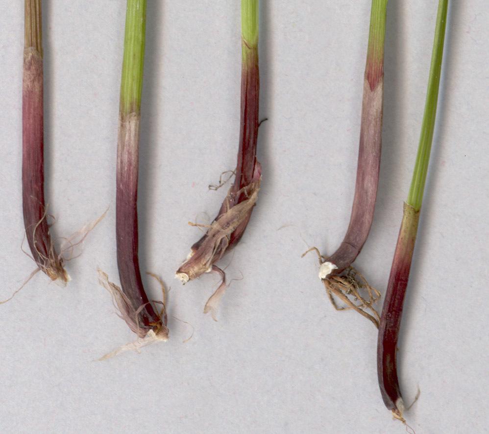Image of <i>Eleocharis palustris</i> ssp. <i>vulgaris</i>