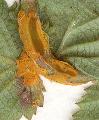 Image of Meadowsweet rust gall