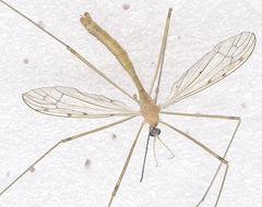 Image of <i>Limonia phragmitidis</i> (Schrank 1781)