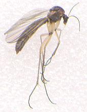 Image of <i>Boletina basalis</i> (Meigen 1818)