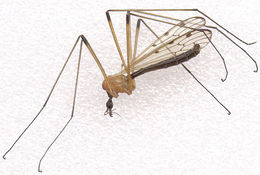 Image of <i>Limonia nigropunctata</i> (Schummel 1829)