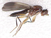Image of druid flies