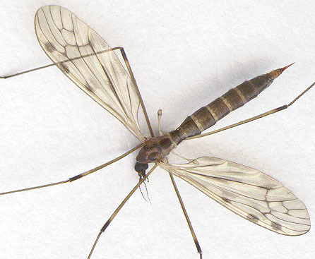 Image of <i>Limonia flavipes</i> (Fabricius 1787)