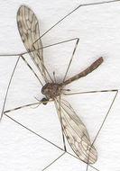 Image of <i>Limonia nubeculosa</i> Meigen 1804