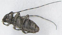 Image of <i>Leiopus nebulosus</i> (Linne 1758)