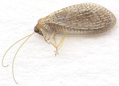 Image of <i>Hemerobius micans</i> Olivier 1793
