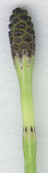 Image of Marsh Horsetail
