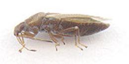 Image of <i>Cymus glandicolor</i> Hahn 1833