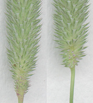 Image of diploid timothy