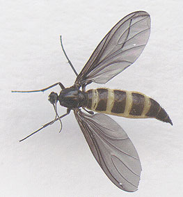 Image of dark-winged fungus gnats