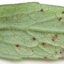 Image of <i>Uromyces valerianae</i> (Schumach.) Fuckel 1870