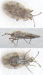 Image of <i>Tingis</i> (<i>Lasiotropis</i>) <i>reticulata</i> Herrich-Schaeffer 1835