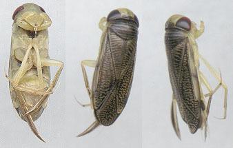 Image of <i>Hesperocorixa linnaei</i> (Fieber 1848)