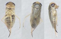 Image of <i>Paracorixa concinna</i> (Fieber 1848)