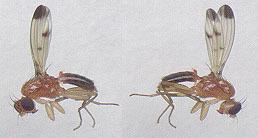 Image of <i>Geomyza hackmani</i> Nartshuk 1984