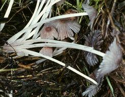Image of <i>Coprinellus marculentus</i> (Britzelm.) Redhead, Vilgalys & Moncalvo 2001