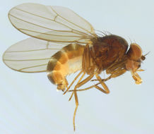 Image of <i>Drosophila obscura</i> Fallen 1823