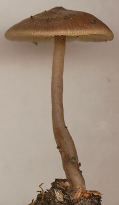 Image of <i>Tephrocybe anthracophila</i> (Lasch) P. D. Orton 1969