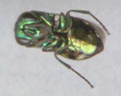 Image of <i>Pseudomalus auratus</i>