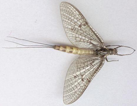 Image of <i>Ephemera danica</i> Müller 1764