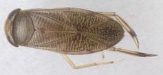 Image of <i>Callicorixa praeusta</i> (Fieber 1848)