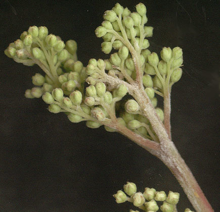 Image of <i>Podosphaera filipendulae</i> (Z. Y. Zhao) T. Z. Liu & U. Braun 2010